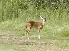 Deer on greenway