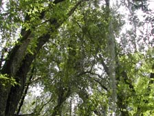Ock tree with spanish moss