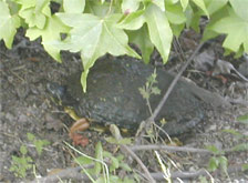 Turtle hiding under tree